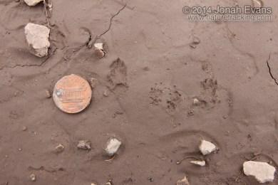 Merriam's Kangaroo Rat Tracks