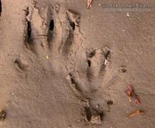 Muskrat Tracks