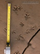 Norway Rat Tracks