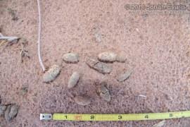 Prairie Dog Scat