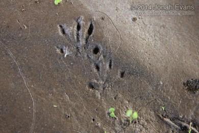 Rattus Sp. Tracks