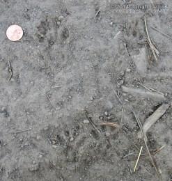Tassel-eared Squirrel Tracks