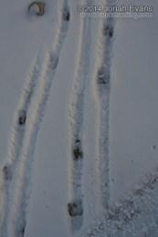 Bighorn Sheep Tracks