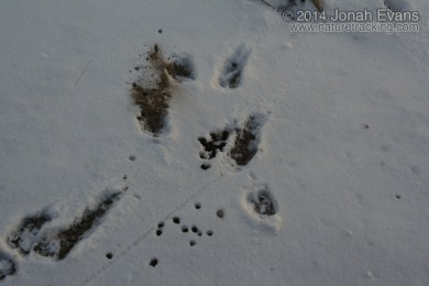 Bighorn Tracks and Scat