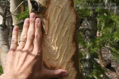 Moose Feeding Sign