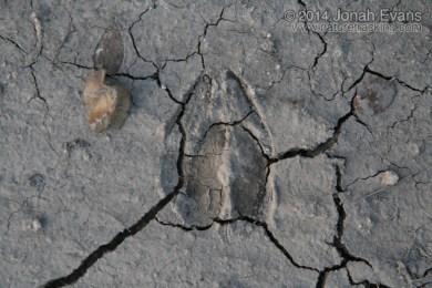 White-tailed Deer Tracks