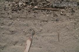 Lizard Tracks