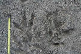 Hawk (Harrier) Tracks
