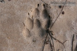 Coyote Tracks 2