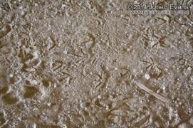 California Quail Tracks
