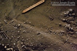 Long-tailed Weasel & Rat Tracks