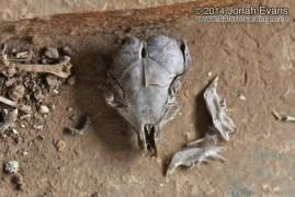Kangaroo Rat Skull