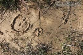 Horse and Dog Tracks