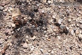 Raccoon Scat