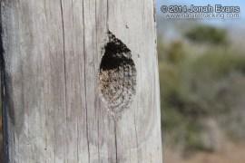 Ladder-backed Woodpecker Hole
