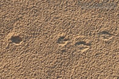 Black-tailed Jackrabbit Tracks & Scat