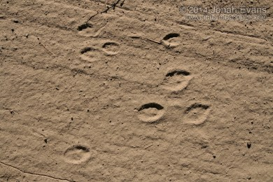 Black-tailed Jackrabbit (Below) and Cottontail Tracks