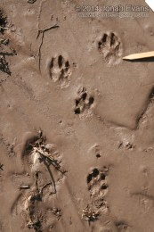 Black-tailed Jackrabbit Tracks