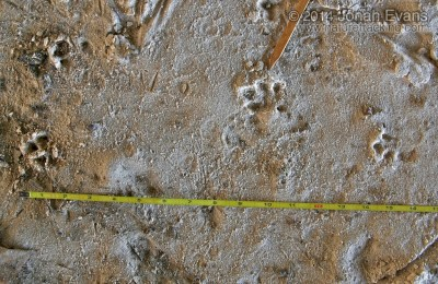 Swamp Rabbit Tracks