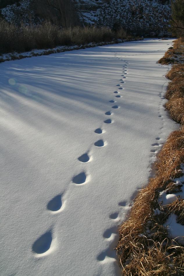 mountain lion tracks naturetracking rh naturetracking com Puma Tracks Wolf Tracks Clip Art