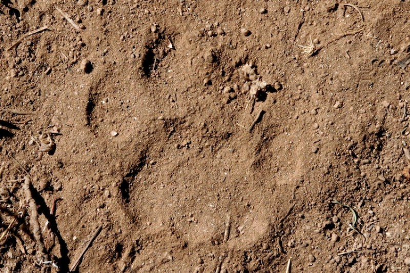 Mountain Lion Track (Right Front)