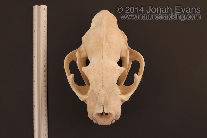Mountain Lion Skull 1 – NatureTracking