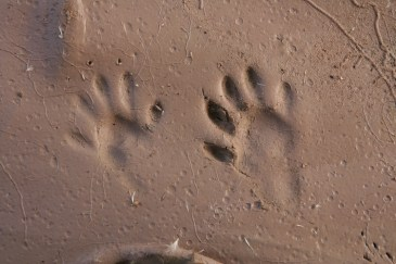 Raccoon left front and right hind track.