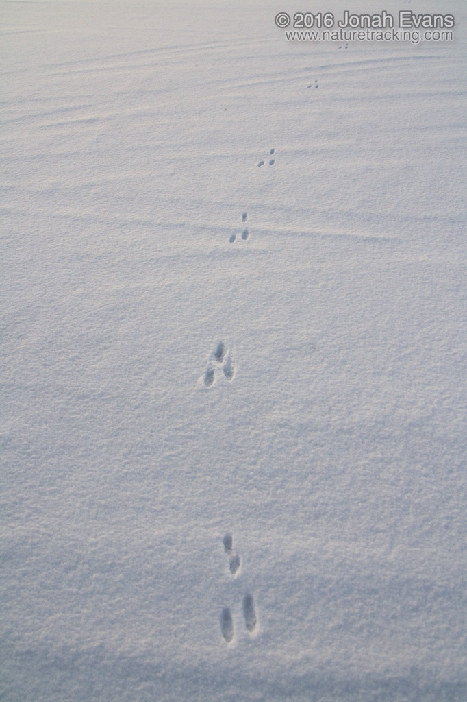 Identifying Animal Tracks In Snow 5 Common Species In Your