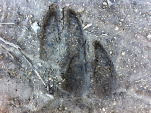 White-tailed deer front (below) and hind tracks.