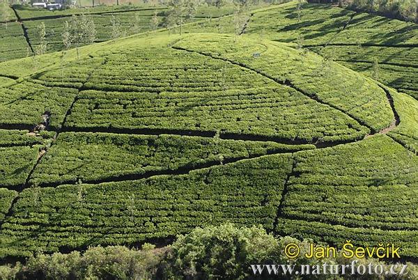 https://i2.wp.com/www.naturfoto-cz.de/bilder/sevcik/tee-plantage--plantation-tea.jpg