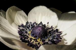 anemone-610188_640