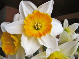 two-coloured-daffodils-1249567_640