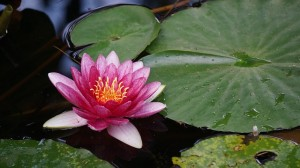 water-lilies-1063245_640
