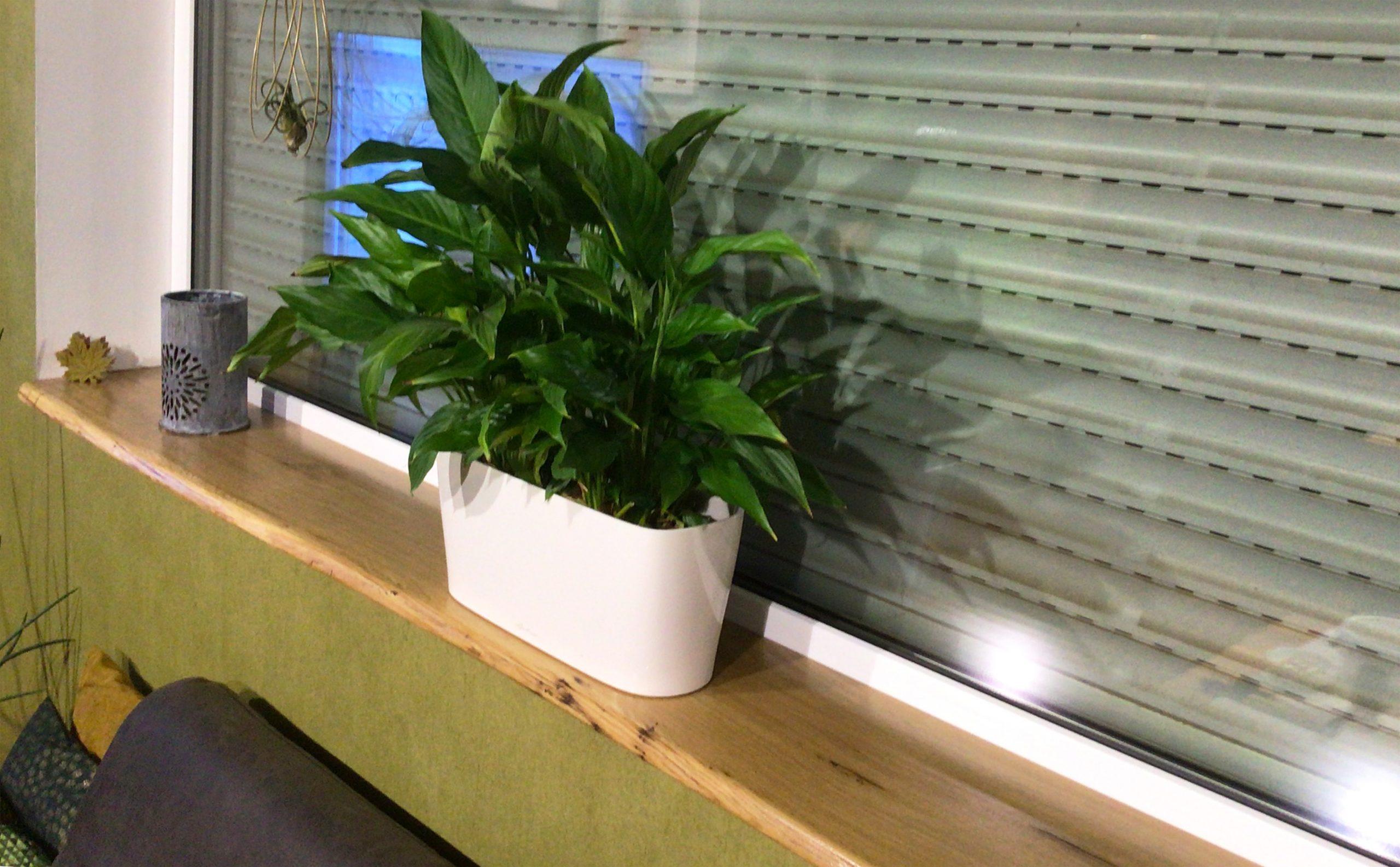 Einbau einer Holzfensterbank mit Baumkante bzw. Schalkante bzw. Naturkante aus Eiche
