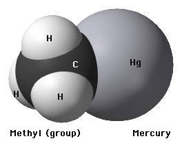 A chemical model representing a methyl mercury molecule.