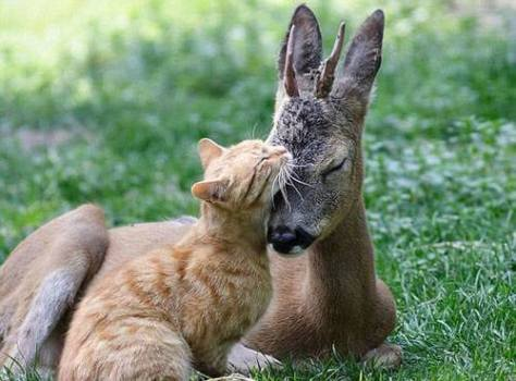 A photograph showing the unlikely friendship between two animals - a ginger cat and a fawn.