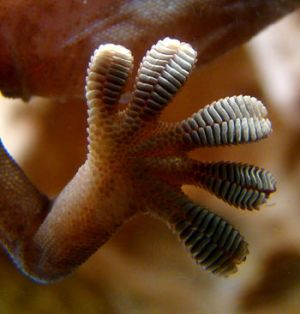 A close-up photograph showing a Gecko's foot sticking to smooth glass window.