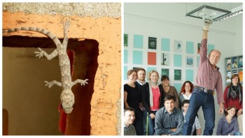A photographic collage showing the Van der Waals forces at work - an ex-gecko hanging by one foot, and researchers hanging by one thread!