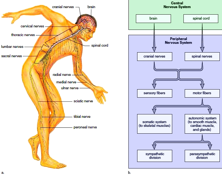 We glimpse at the body electric an introduction to the physics of in the somatic nervous system single motor neurons whose cell bodies are in the spinal cord link the cns to the skeletal muscles ccuart Choice Image