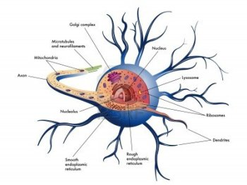 A biological drawing of a neuron cell in the Human nervous system.