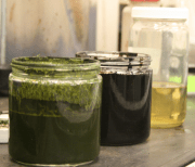 A photograph showing three jars filled with algae mush that is successively refined into something resembling crude oil, and eventually clear usable fuel.
