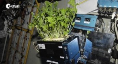 A photograph showing roquette salad grown by astronauts on the International Space Station.