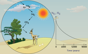 A drawing explaining the carbon-14 cycle on Earth, from the atmosphere, into plant life, into animal life. And a graph showing the exponential decay of carbon C14 into C12.