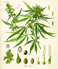 A botanical drawing of the Cannabis Sativa plant by Köhler, circa 1897. The stems, leaves, inflorescences and seeds are depicted in exquisite details.