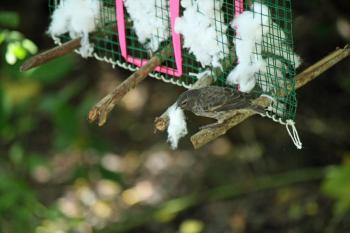 A photograph showing a finch picking cotton from a dispenser, that will be used to construct (and fumigate) its nest.