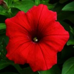 A close-up photograph of a red petunia flower.