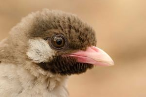 A close-up photograph showing the characteristic features of the male honeyguide bird.