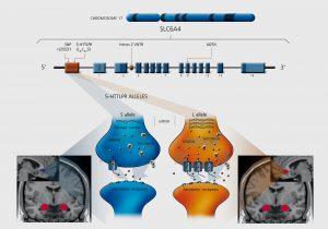 A set of diagrams showing the allelic variation of serotonin transporter 5-HTT.