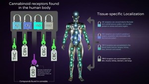 An infographic explaining how different cannabinoids work on different cannabinoid receptors in the human body.
