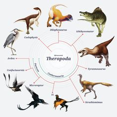 A schematic diagram showing theropod diversification from dinosaurs to birds.